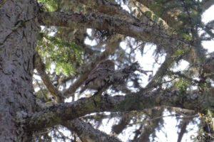 Chouette Chevêchette adulte observée aux alentours du nid